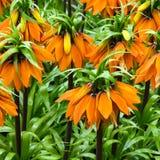 kronan blommar den imperialistiska orangen Royaltyfri Fotografi