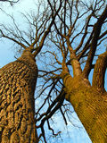 kronan låter vara oaktrees Arkivbilder