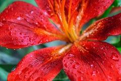 Kronblad av en röd lilja med droppar av vatten efter ett regn Fotografering för Bildbyråer
