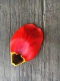 Kronblad av en röd tulpan Arkivfoto