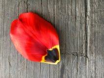 Kronblad av en röd tulpan Royaltyfri Foto