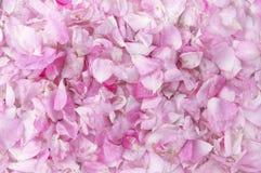Kronblad av en rosa rostextur Royaltyfri Bild
