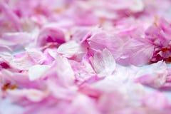 Kronblad av körsbärsröda blomningar Royaltyfri Fotografi