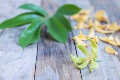 Kronblad av klättringylangen-Ylang, Manorangini, Hara-champa, Kantali Royaltyfria Foton