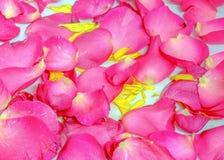 Kronblad av rosa färgrosen med annan Fotografering för Bildbyråer