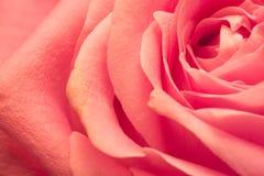 Kronblad av rosa färgrosmakroen Royaltyfri Bild