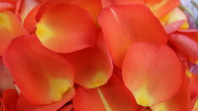 Kronblad för apelsinros` s Fotografering för Bildbyråer
