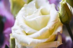 Kronblad för bokeh för makro för bakgrund för abstrakt begrepp för blomma för vitgulingros Royaltyfria Foton