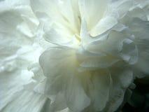 Kronblad för vit blomma Fotografering för Bildbyråer