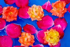 Kronblad och rosor för bakgrund för kronblad för röda rosor som svävar i vatten med gula rosor royaltyfri bild