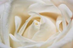 Kronbladen av vitrosen Royaltyfri Foto