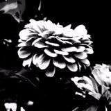 Kronbladpop arkivbild