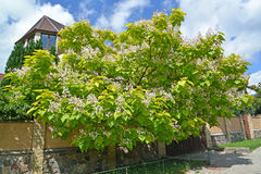 Krone of the blossoming catalpa common Catalpa bignonioides Wal. Ter Royalty Free Stock Image
