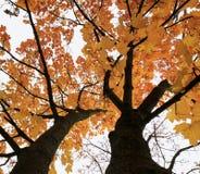 Krone des Ahornbaums im Herbst, helles goldenes Laub auf Himmel-BAC Stockfoto