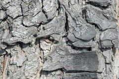 Krone des alten Birnenbaums im Garten horizontal lizenzfreies stockbild