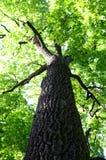 Krone des Baums Stockbild