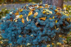 Krone dwarf blue spruce in autumn leaves stock photos