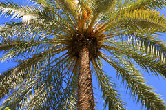Krone einer Palme lizenzfreie stockfotografie