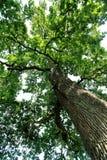 Krone eines Baums Lizenzfreie Stockfotos