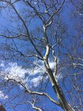 Krone of a tree in spring with blue sky.  Stock Images