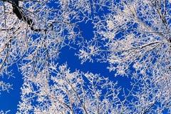 Krone Trees Stock Image