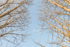 Krone trees. Against the blue sky Royalty Free Stock Photos