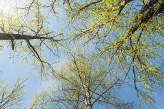 Krone von Bäumen mit spärlichen Niederlassungen und kleinen grünen Blättern gegen den blauen Himmel, Frühlingshintergrund Lizenzfreie Stockfotos