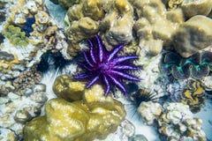 Krone-von-Dornen Starfish, Acanthaster-planci, purpurrotes Schwarzes Lizenzfreie Stockbilder