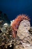 Krone-von-Dornen Starfish im Roten Meer. Stockbild