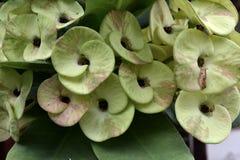 Krone von Thorn Flower Stockbild