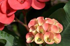 Krone von Thorn Flower Stockfotos