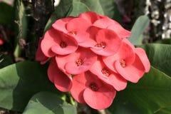 Krone von Thorn Flower Stockfotografie