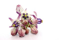 Kronen-Blume Stockfoto