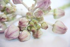 Kronen-Blume Lizenzfreies Stockbild