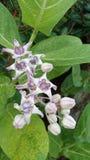Kronen-Blume (2) Stockfoto