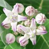 Kronen-Blumen-Eingeborener nach Malaysia Lizenzfreies Stockfoto