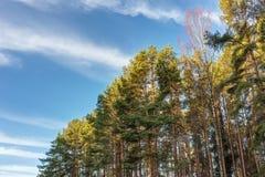 Kronen der Bäume im Wald Stockfoto