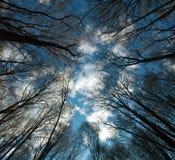 Kronen en takken van lange bomen op blauwe hemelachtergrond Royalty-vrije Stock Afbeeldingen