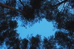 Kronen van pijnbomen tegen de avondhemel stock foto's