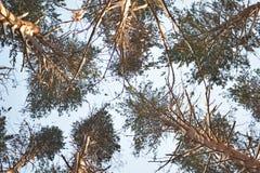 Kronen van pijnbomen tegen de hemel stock foto's