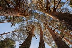 Kronen van pijnboombomen in bos stock fotografie
