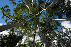 Kronen van witte gombomen op Fraser Island Royalty-vrije Stock Foto's