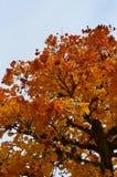 Kronen von Bäumen mit gelben Blättern im Herbst Lizenzfreie Stockbilder
