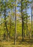Kronen von Herbstbäumen Stockfoto