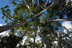 Kronen von weißen Eukalypten auf Fraser Island Lizenzfreies Stockbild