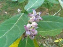 Kronenblumen lizenzfreie stockbilder
