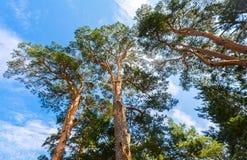 Kronor av högväxt sörjer träd ovanför hans huvud i skogen Royaltyfri Bild