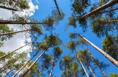 Kronor av högväxt sörjer träd ovanför hans huvud i skogen Royaltyfri Fotografi