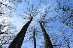 kronor av sörjer och lövfällande träd utan sidor mot en bakgrund av ljus blåttmarshimmel, en upw för sikt vertikalt underifrån royaltyfri bild