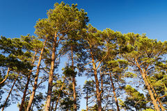 Kronor av Scots eller skotsk whisky sörjer Pinussylvestristräd mot blå himmel Gruppen av högväxt sörjer träd som växer i vintergr Arkivbilder
